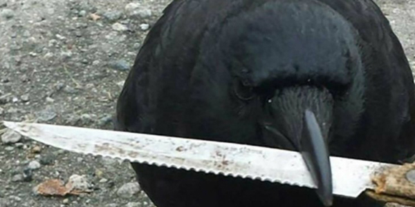 crow-steals-knife-featured.jpg